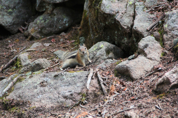 This chipmunk was wondering what the hell all the commotion was at the Captain Jack rock garden.
